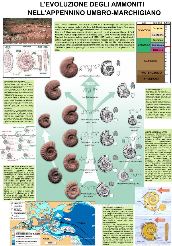 Evoluzione di Ammoniti Mercaticeratinae