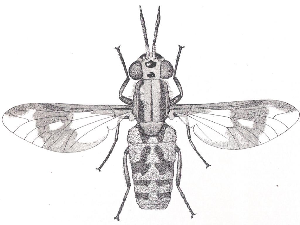Heterochrysops flavipes (Tabanidi), le cui larve vivono in terreni molto umidi