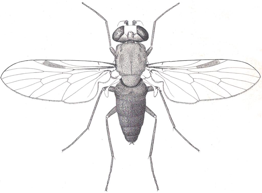 Symphoromyia immaculata (Leptidi)